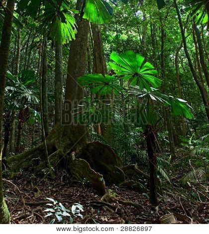 tropical rain forest pristine unspoilt jungle in Daintree national park Cape Tribulation, Australia, ancient gigantic tree in rainforest