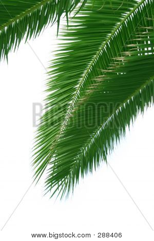 Isolated Palmtree
