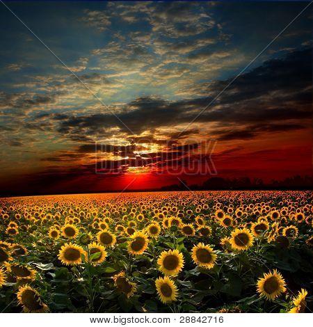 Belo pôr do sol sobre um corpo com podsolnuzami