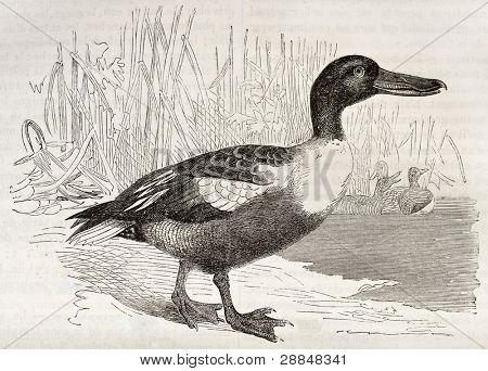 Northern Shoveler old illustration (Anas clypeata). Created by Kretschmer, published on Merveilles de la Nature, Bailliere et fils, Paris, ca. 1878