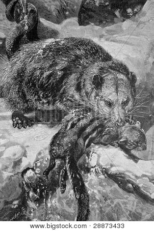 """""""The opossum and the ground-squirrel"""". Engraving by Schreiber from picture by painter Shneht. Published in magazine """"Niva"""", publishing house A.F. Marx, St. Petersburg, Russia, 1893"""