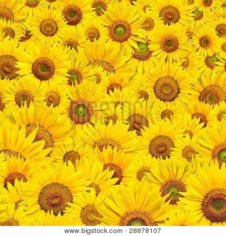 background made of beautiful yellow sunflowers