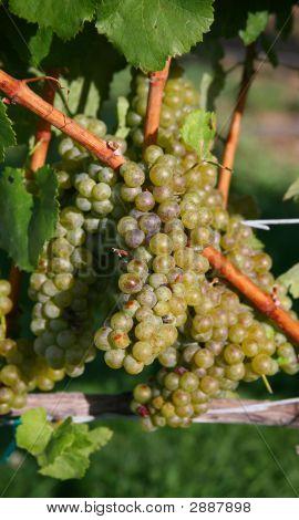 Chardonnay-Trauben in Weingarten