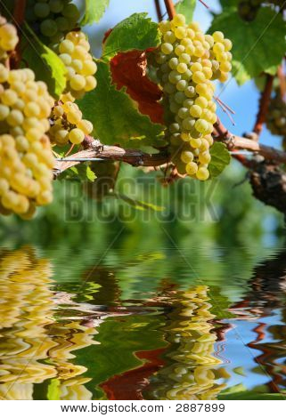 Chardonnay Grapes In Vineyard