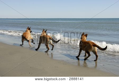 Three Malinois And The Sea