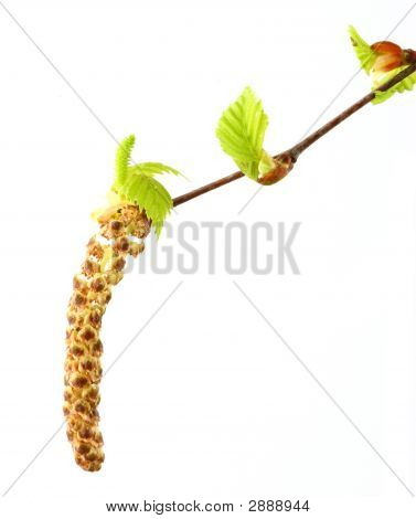 Branch Of Birch Tree With Buds And Leaves Close Up