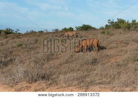 Two Warthogs With Large Tusks