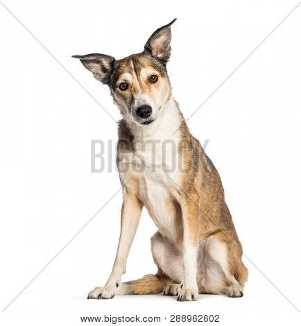poster of Mixed-breed dog, 8 years old, sitting in front of white background