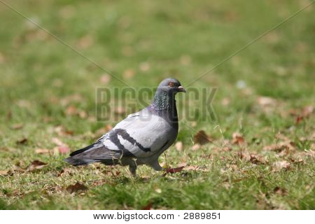 Pigeon On Grass Walking