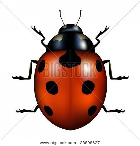 vector illustration of a ladybug isolated on white