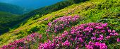 Rhododendron. Panoramic View Of Blossoming Pink Rhododendron poster