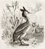 stock photo of great crested grebe  - Great Crested Grebe old illustration  - JPG