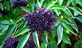 Sambucus Berries. Common Names Include Elder, Elderberry, Black European Elder, European Elderberry, poster