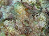 picture of mimicry  - Camouflaged Mediterranean octopus on the seabed - JPG