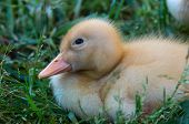 Fuzzy Yellow Baby Duckling Curled Up In A Bed Of Green Grass In Spring poster