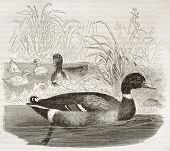 Mallard old illustration (Anas platyrhynchos). Created by Kretschmer and Jahrmargt, published on Mer