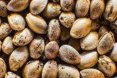Macro Detail Of Marijuana Seed. Hemp Seeds Background In Macro. Many Cannabis Seeds. Organic Hemp Se poster