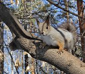 Eurasian Red Squirrel On A Pine. Ordinary Squirrel (lat.sciurus Vulgaris) Is The Genus Of Rodents Of poster