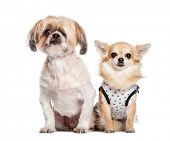 Mixed-breed dog, Chihuahua sitting in front of white background poster