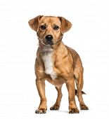 Mixed-breed dog, 1 year old, in front of white background poster