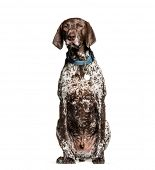 German Shorthaired Pointer, 6 years old, sitting in front of white background poster