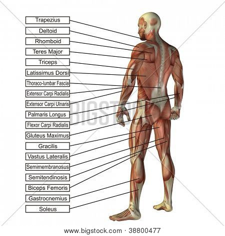High resolution concept or conceptual 3D human anatomy and muscle isolated on white background as a metaphor to body,tendon,spine,fit,builder,strong,biological,skinless,shape,posture,health or medical