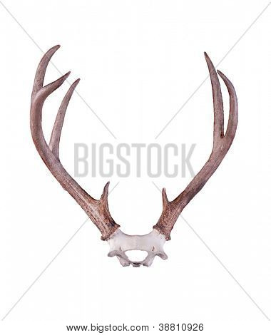 Black-tailed deer antlers isolated on white background