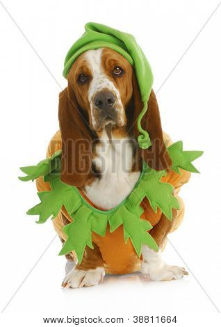 dog dressed up for halloween - basset hound wearing pumpkin costume sitting on white background