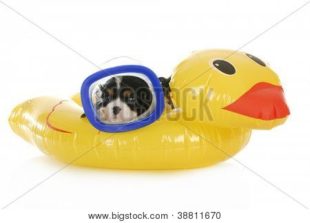 dog swimming - cavalier king charles spaniel wearing mask laying on water floatation device