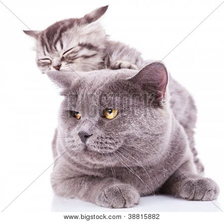 adorable kitten taking a nap on an adult english cat, on white background