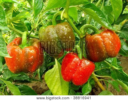 bell pepper plant with ripening fruits
