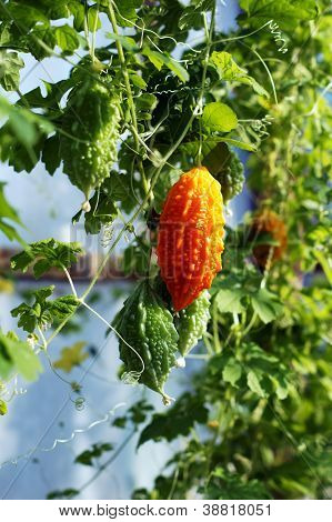 Vegetable Kind Of Gourd And Momordica In Organic Farm