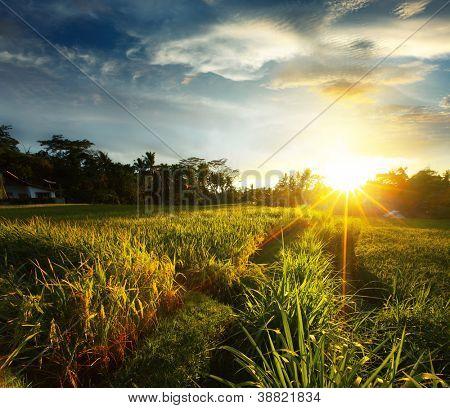 Puesta de sol sobre el campo de arroz. Ubud, Bali