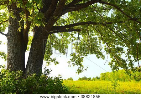 Oak tree with huge branches on summer meadow at sunny day
