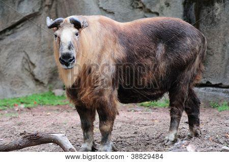 Sichuan Takin in Chicago zoo