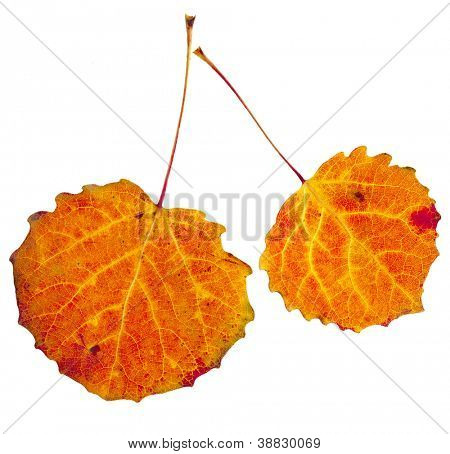 colorful autumnal aspen leaves isolated  on white background