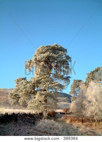 Helado de pino silvestre