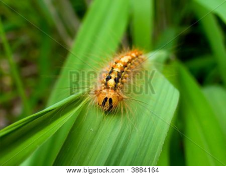 Caterpillar Of Gypsy Moth