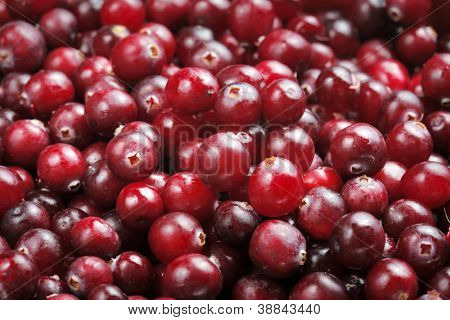 Fresh red ripe cranberries. Most cranberries are processed into products such as juice, sauce, jam, and sweetened dried cranberries, with the remainder sold fresh to consumers.