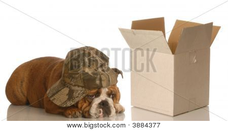 Bulldog Lying Beside Empty Box