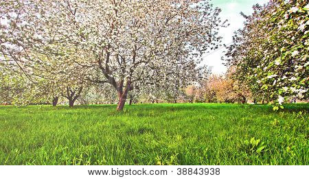 Beautiful blooming of decorative white apple and fruit trees over bright blue sky in colorful vivid spring park full of green grass by dawn early light with first sun rays, fairy heart of nature