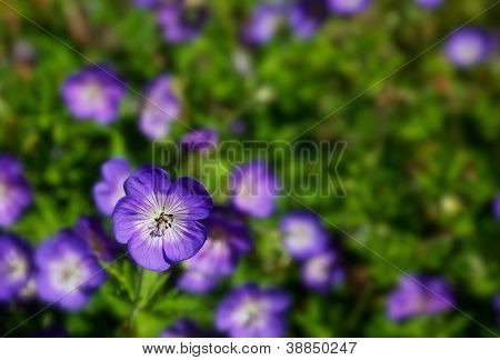 Macro shot of a Purple Wild Geraniums with a narrow depth of field and soft focus flowers in background