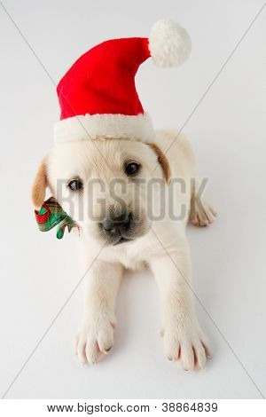 Christmas puppy - portrait of cute labrador puppy in Santa hat