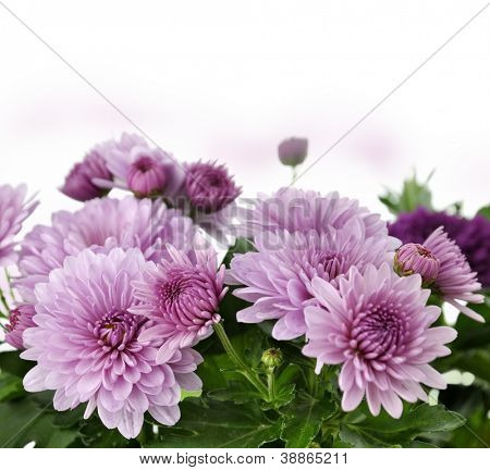 Fall Mum Flowers On White Background