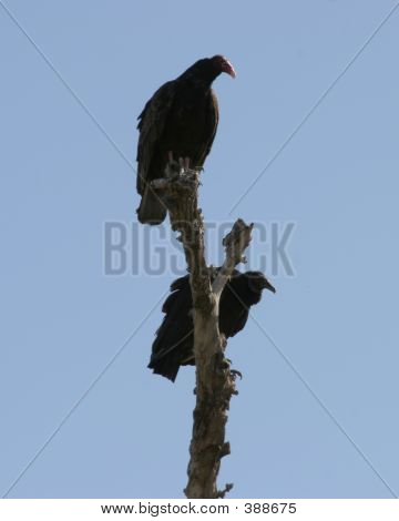 Two Turkey Vultures