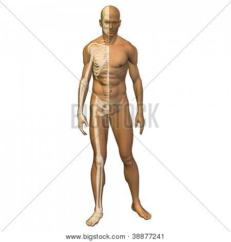 High resolution concept or conceptual 3d male or man running over a white background as a metaphor for anatomy,body,biology,medicine,muscle,bones,muscular,anatomical,science,education,sport or x-ray