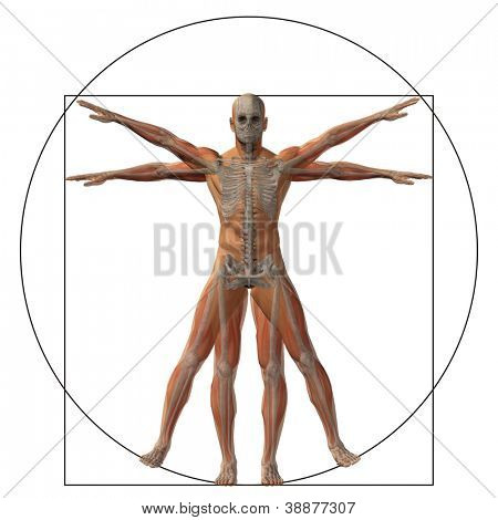 High resolution Vitruvian human or man as a concept,metaphor or conceptual 3d anatomy body for biology,anatomical,proportion ,medicine,symbol,physiology,skeleton,health,humanity or morphology