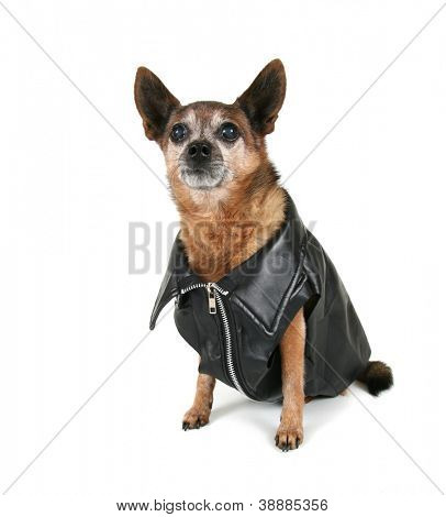 a chihuahua dressed up as a biker
