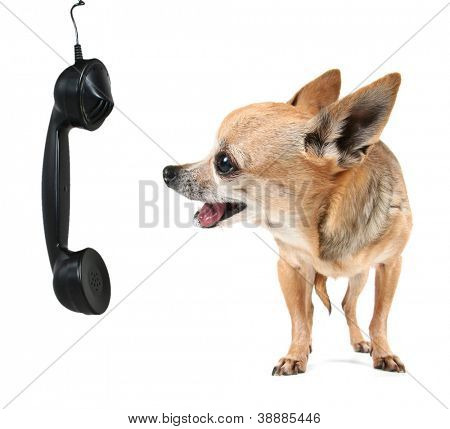 a cute chihuahua talking on the phone