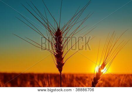 puesta del sol y la cosecha del campo